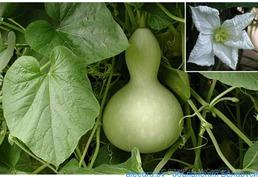 Семена Лагинарии, сорт Посудовидная ( по 12 семян)
