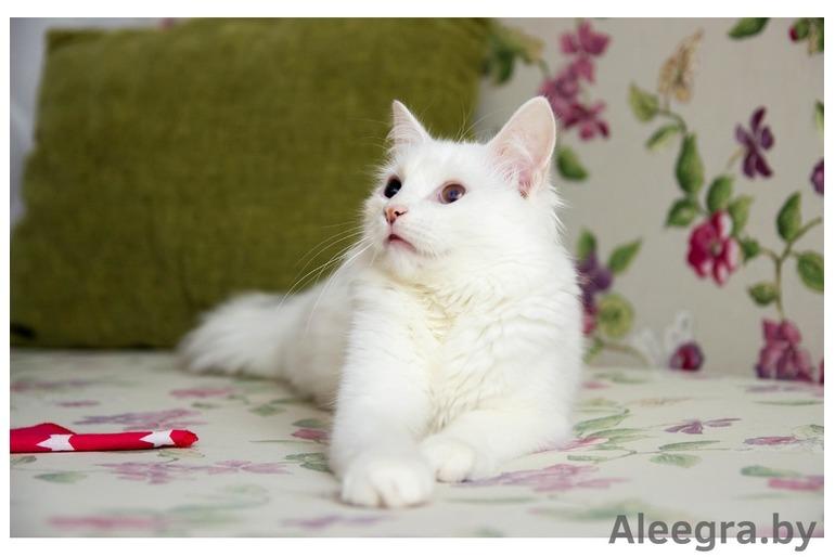 Бимка - белый юный кот в дар