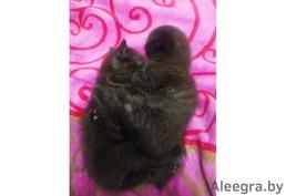 Шотландские котята: прямоухие и вислоухие.
