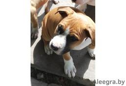 Продается щенок американского стаффордширдского терьера