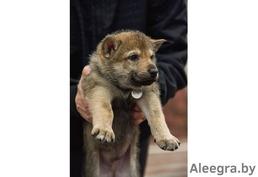 Чехословацкий влчак щенки