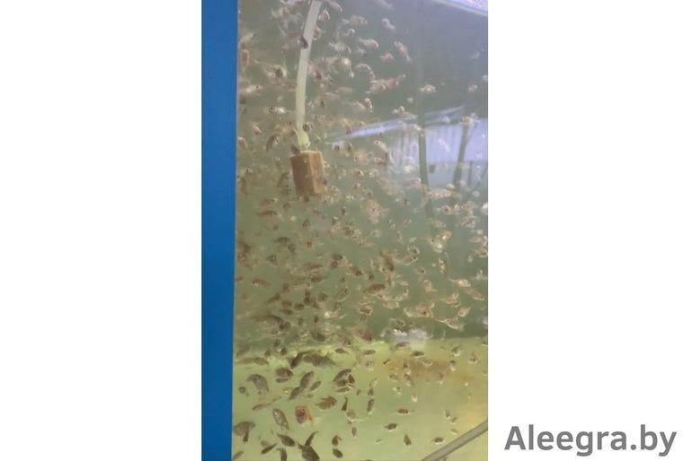 Продажа золотых рыбок собственного разведения оптом