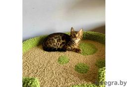Бенгальский котенок к переезду